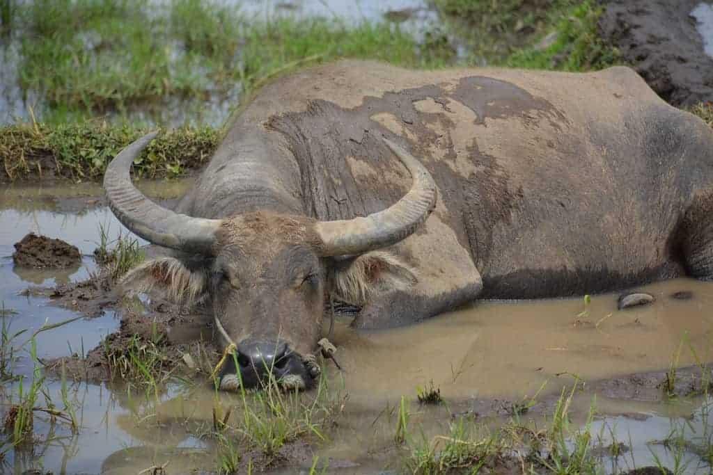 mai chau buffalo rice fields