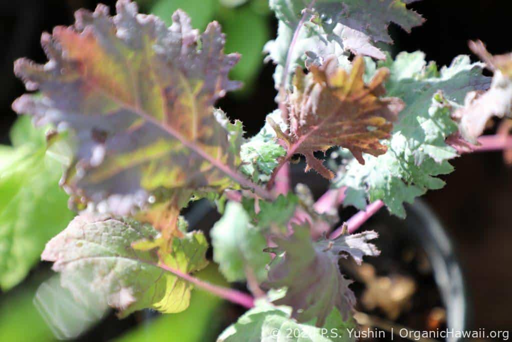 Organic Red Russian Kale