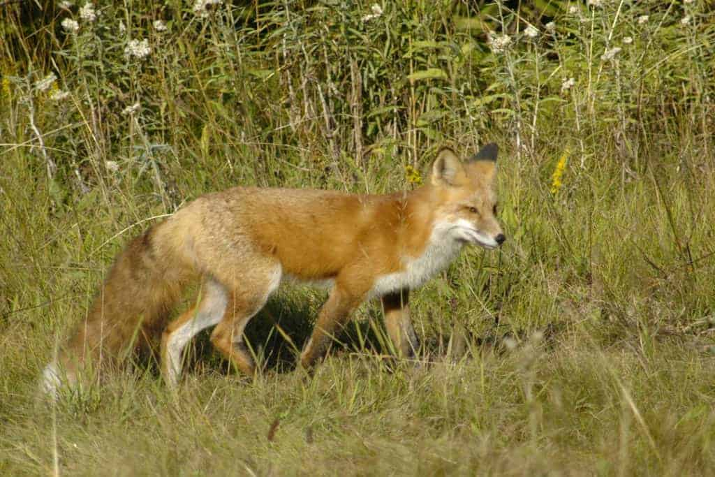 A red fox at Daisy Farm Campground on Isle Royale National Park in Lake Superior