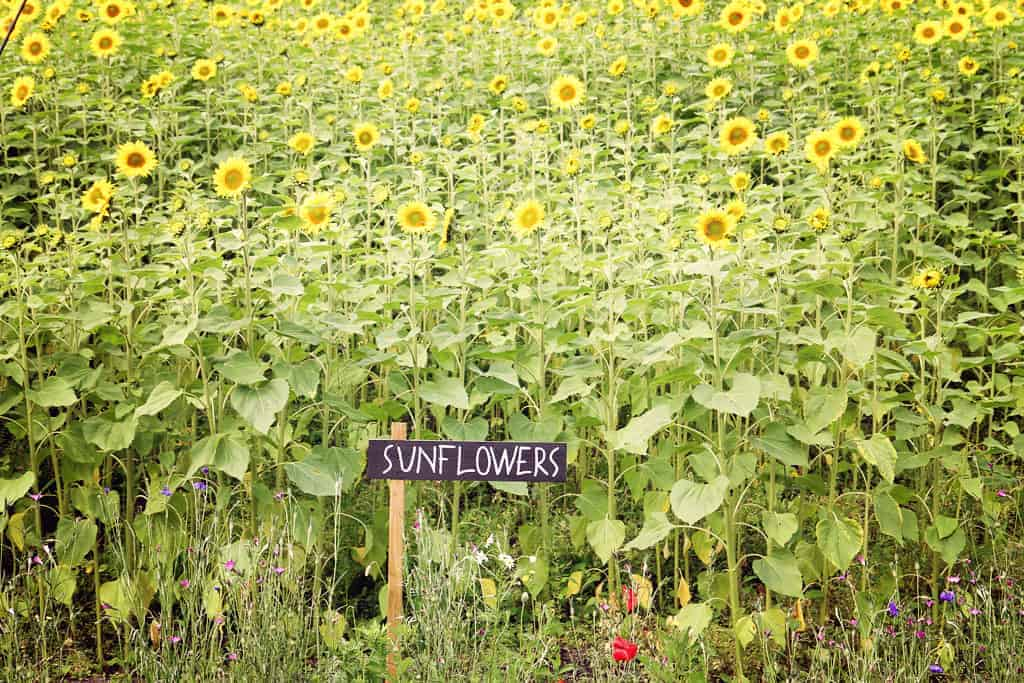 Sunflowers at Eden Project