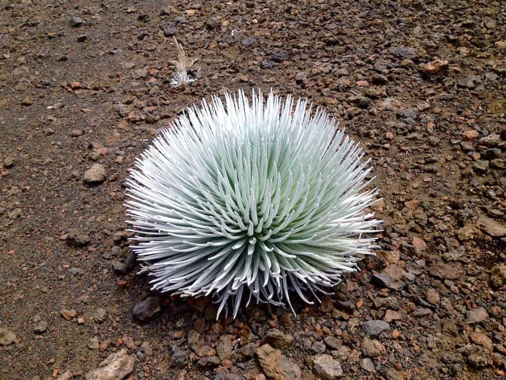 Silversword, Silberschwert. Die Pflanze wächst nur im Haleakala-Krater auf Maui