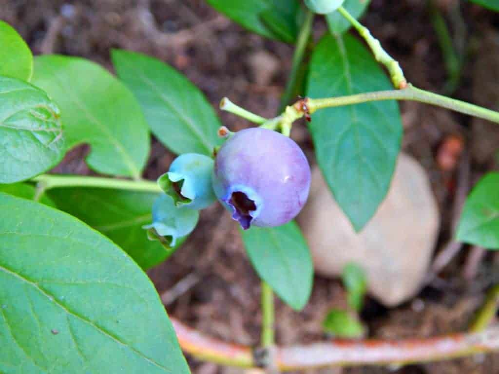 ripe blueberry close up on a bush