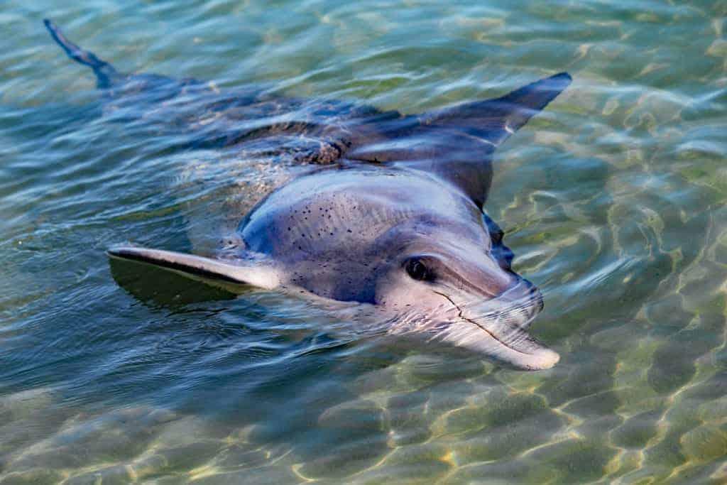 Monkey Mia, Delfin, Shark Bay, Western Australia