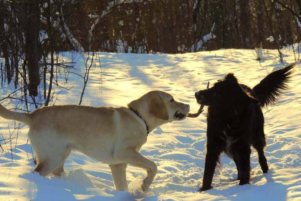 Two dogs chew on a stick in the snow.