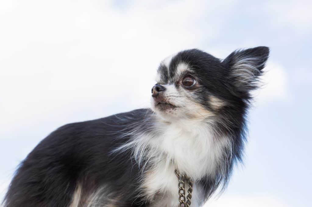 犬の英語−チワワの英語