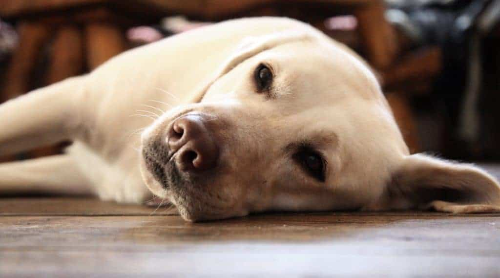 Laryngeal Paralysis in Dogs tends to happen to large breeds like Labrador Retrievers.