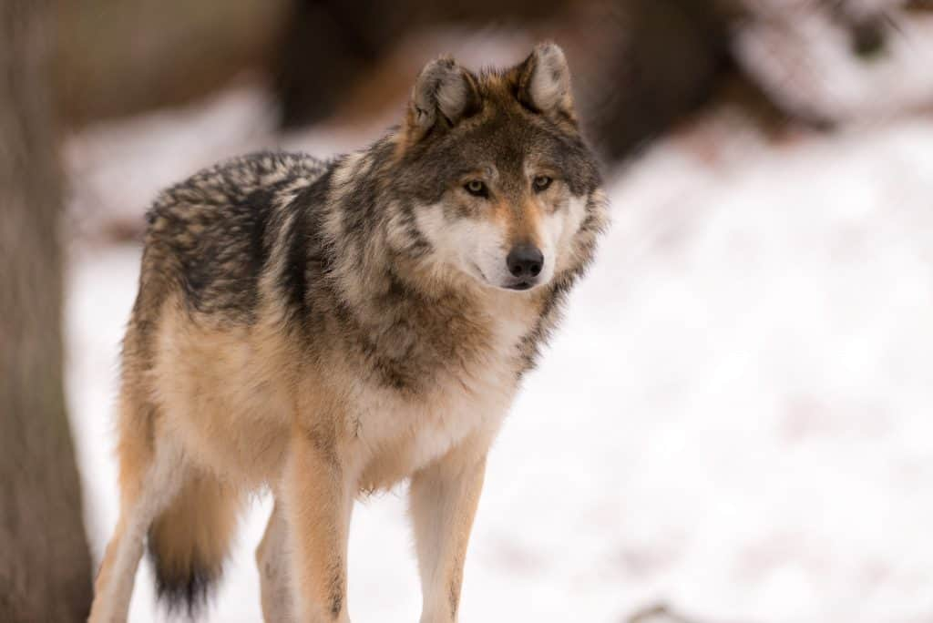 Gray wolf standing in a snowy landscape.