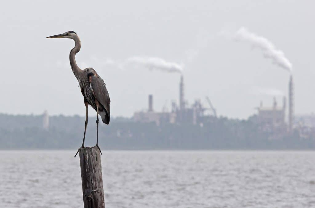 A great blue heron with factory smokestacks in the background