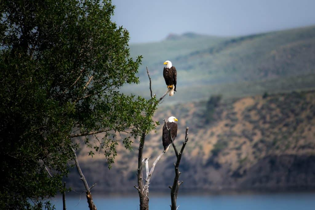 bald eagles in a tree