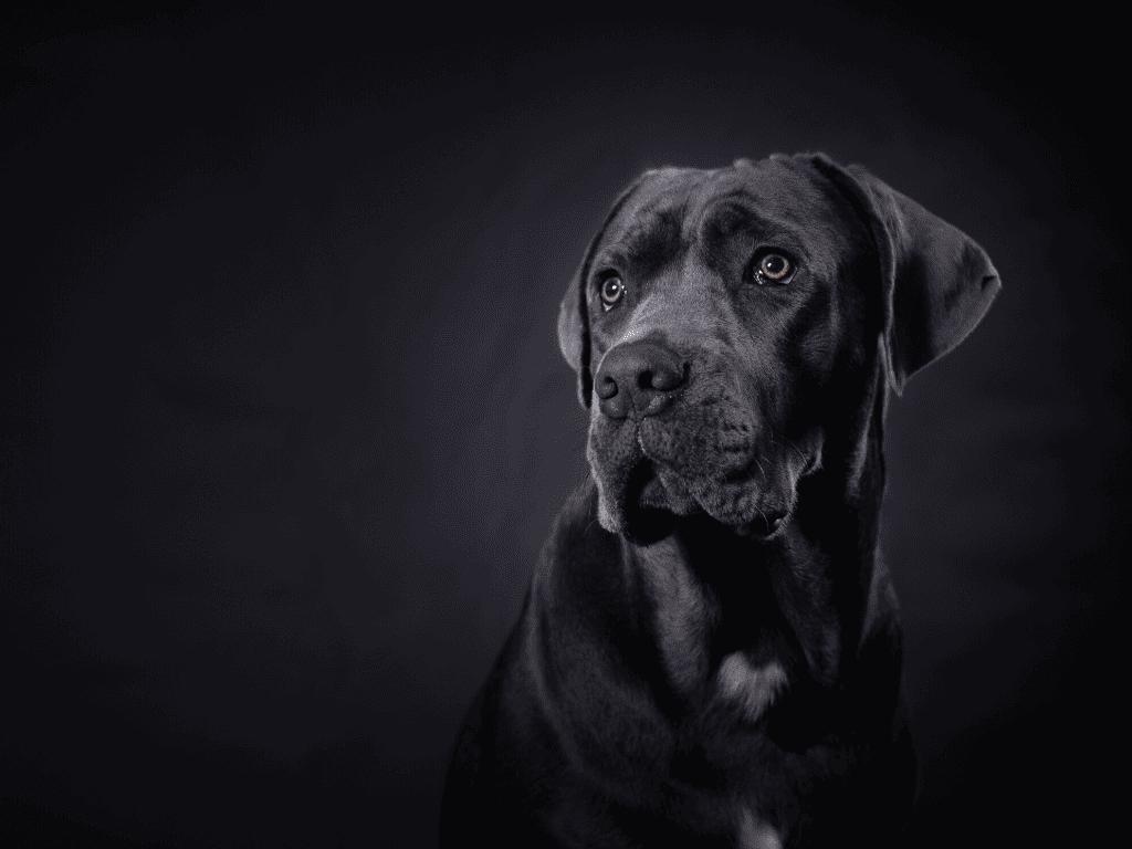Black Cane Corso on black background