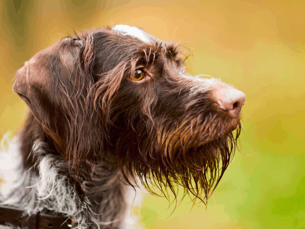 Dog eyebrows from a German wirehair Pointer.