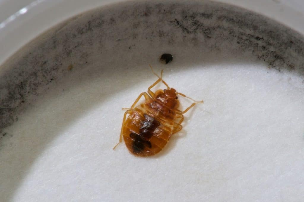 Bed bugs on a Petri Dish 3