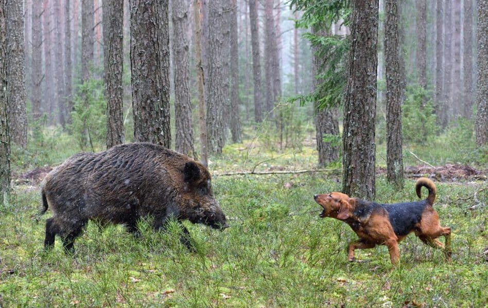 Hunting with hound