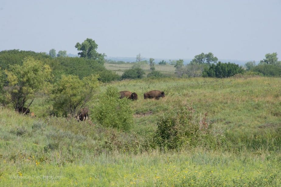Bison along the road at Maxwell Wildlife Refuge in Kansas