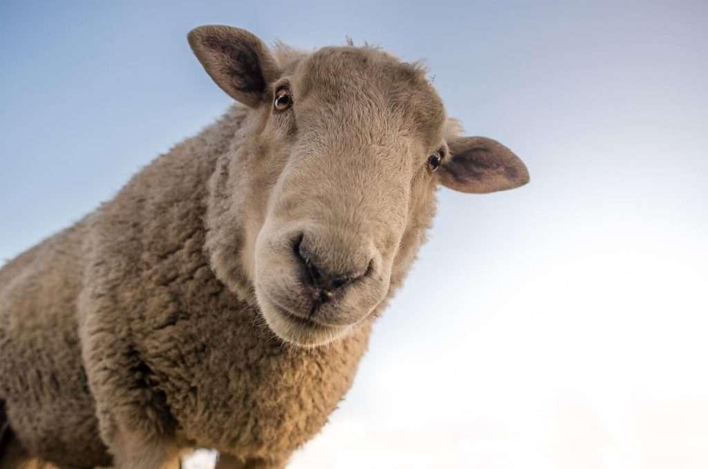 sheep slimme dieren