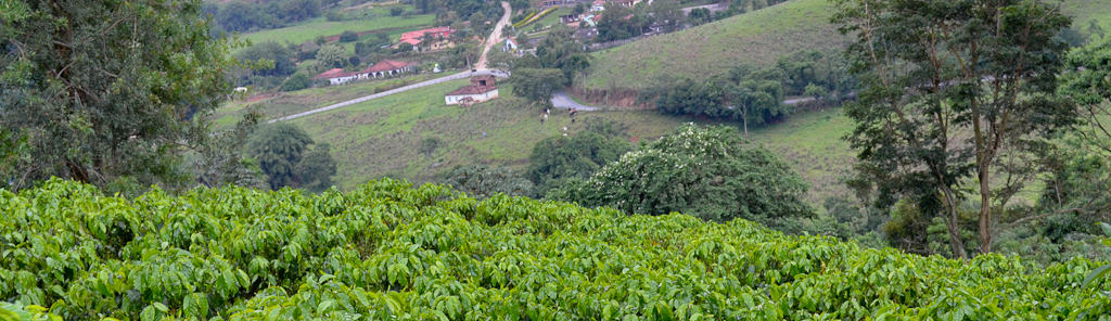 Brazilian coffee plantation