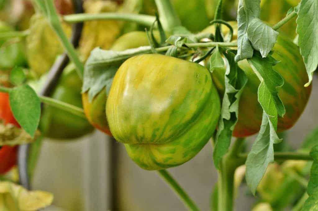 Unreife Tomaten lagern
