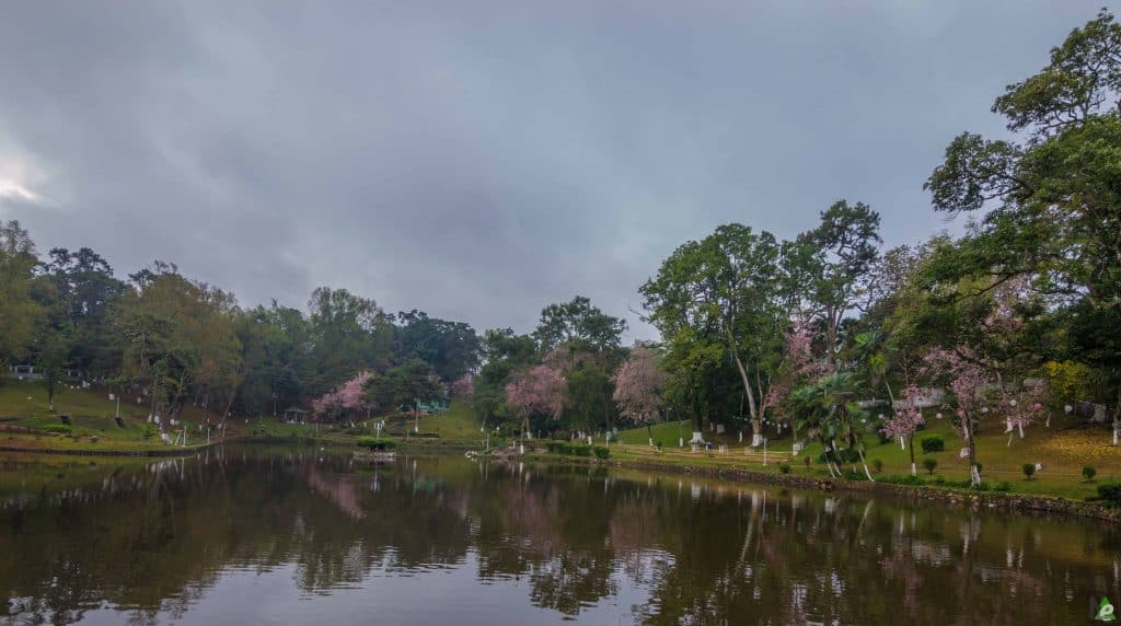 shillong cherry blossoms meghalaya
