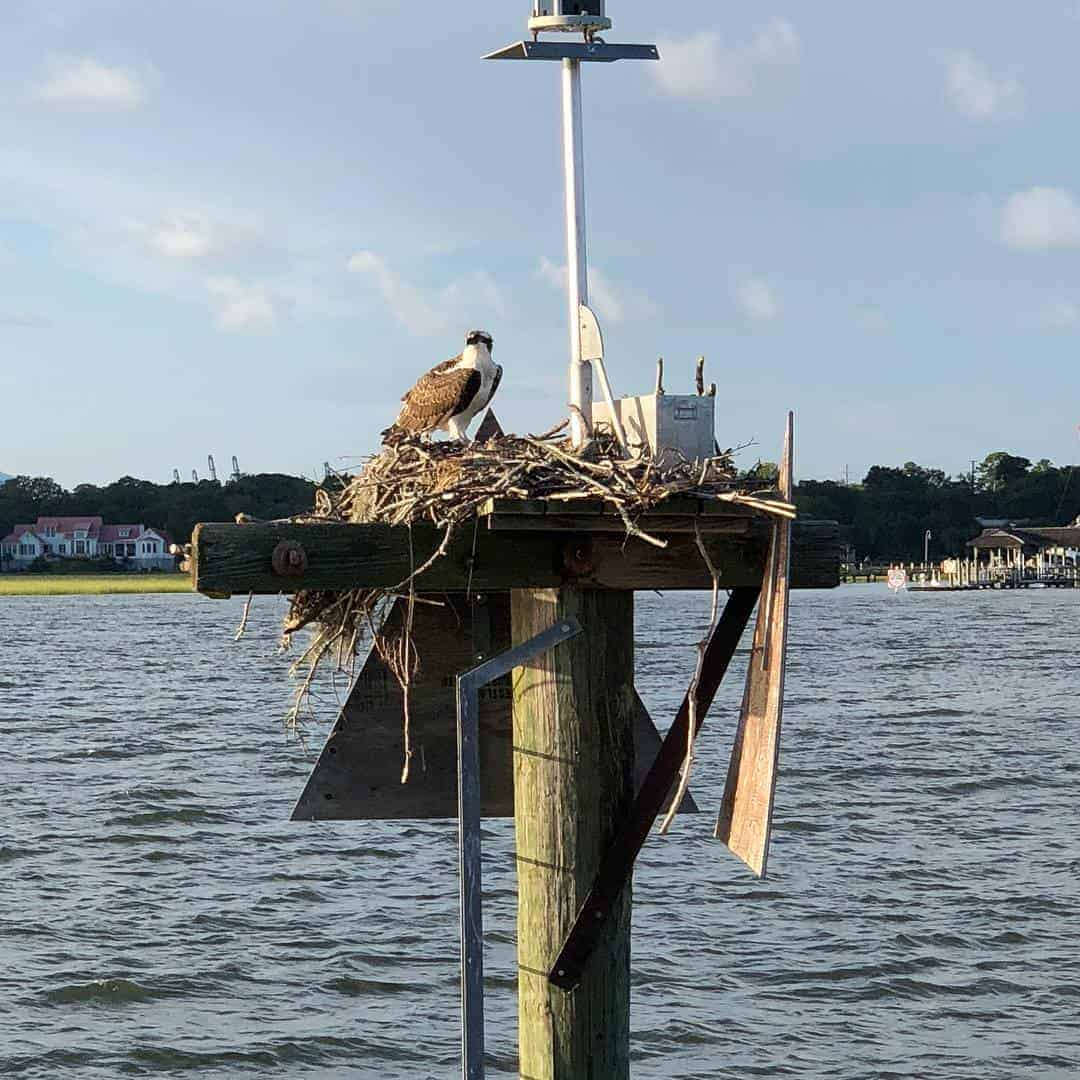 Bird in nest on a pole in the water. Nature boat tours Charleston
