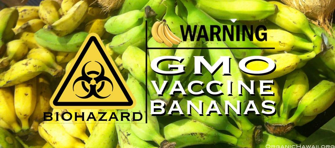 GMO vaccine bananas