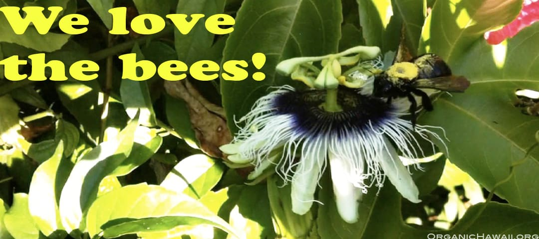 Bumble bee pollinating an organic Hawaii Passion Fruit flower (Lilikoi) on a Maui organic farm