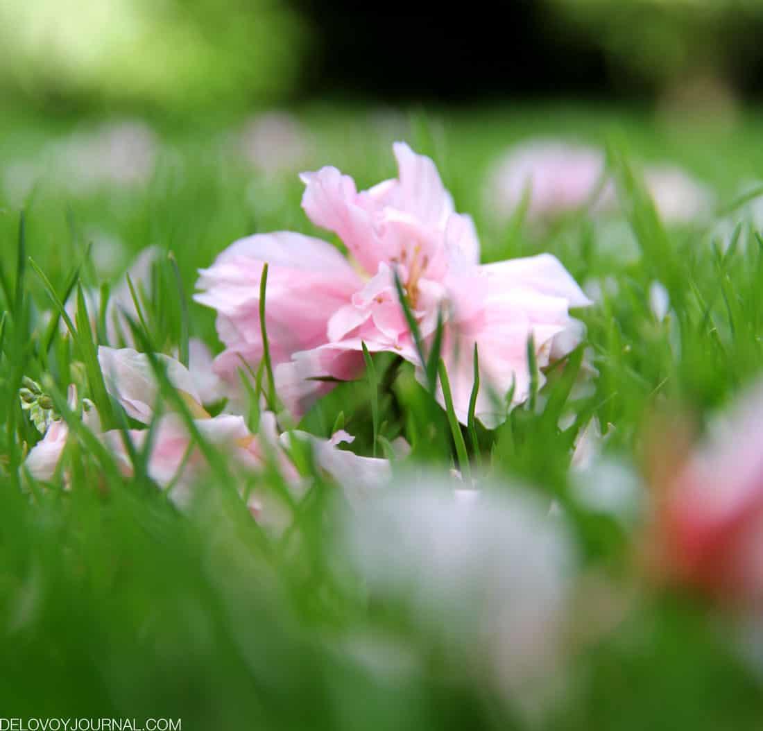 Розовый снег из лепестков цветущей сакуры