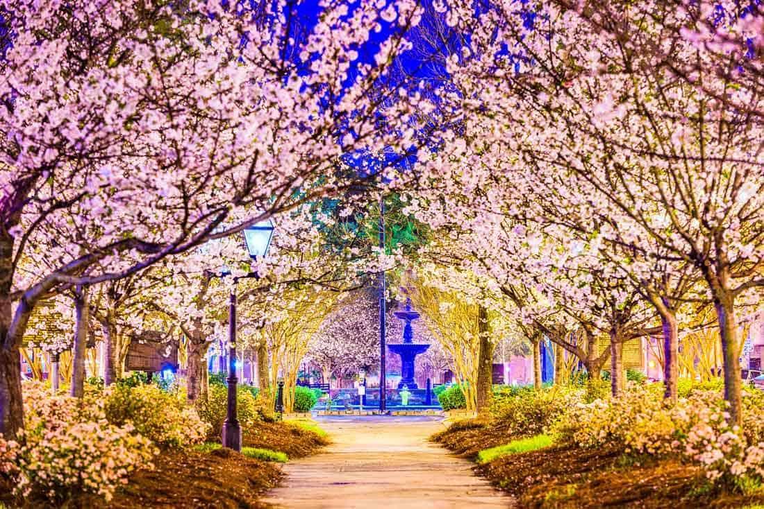 Город Мейкон в штате Джорджия - мировая столица сакуры