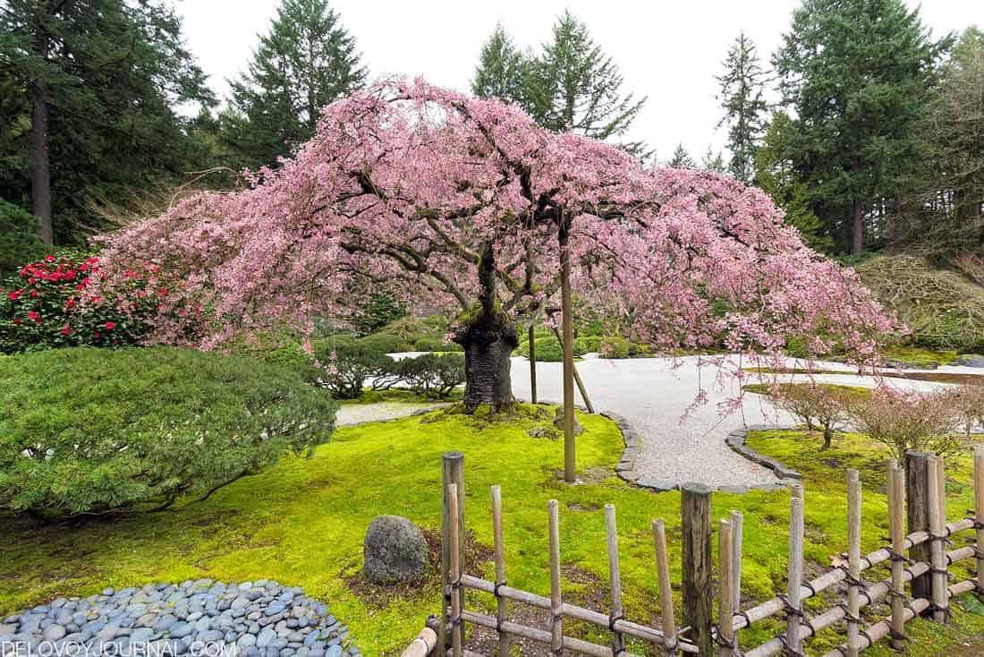 Цветение розовой вишни в японском саду