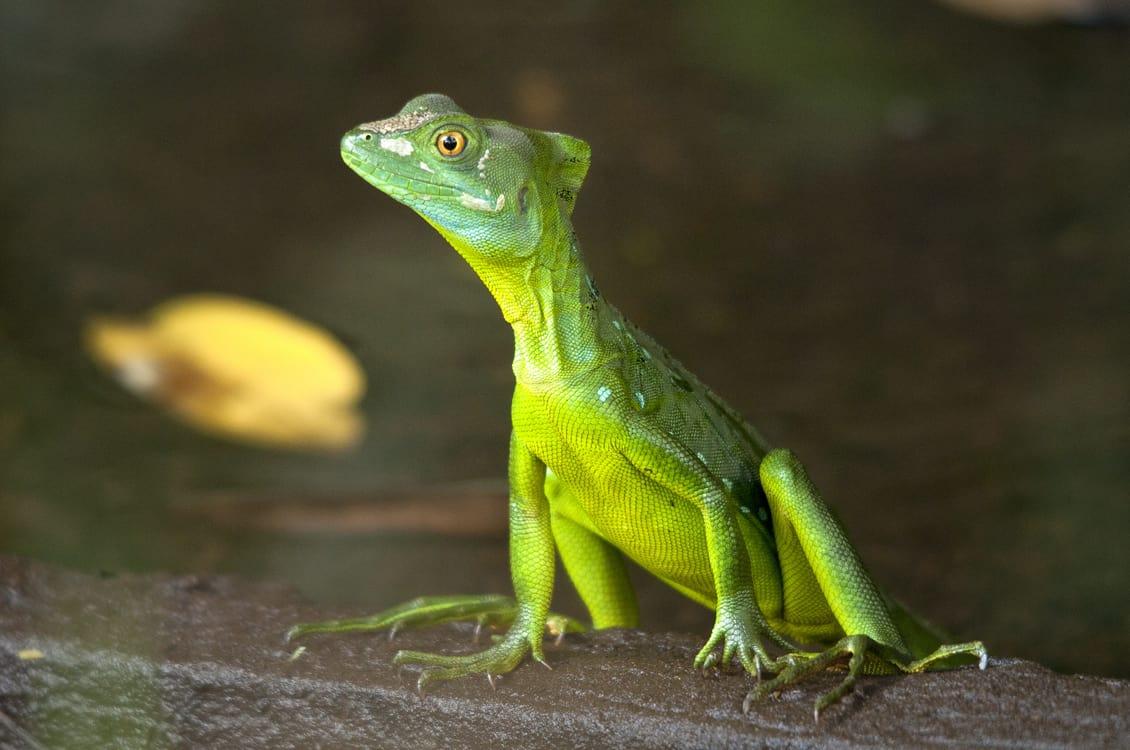 Tortugero National Park Lizard