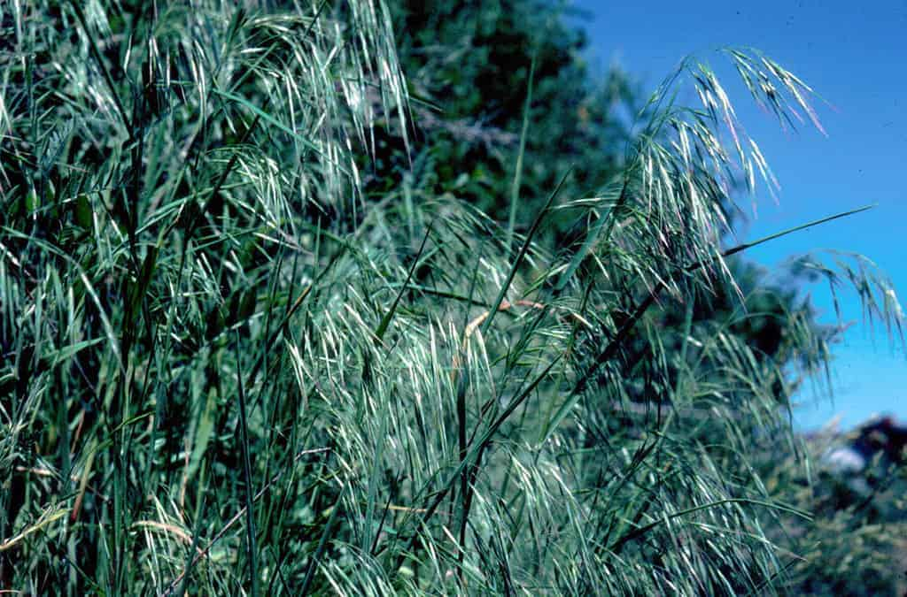 Cheatgrass (Bromus tectorum).  Photo David Pyke. USGS Public domain.