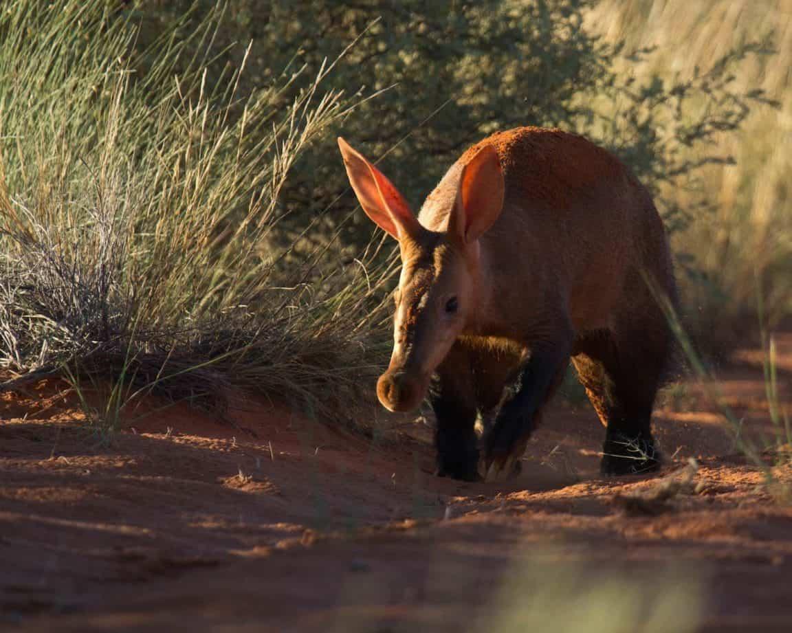 Aardvark in Tswalu Kalahari