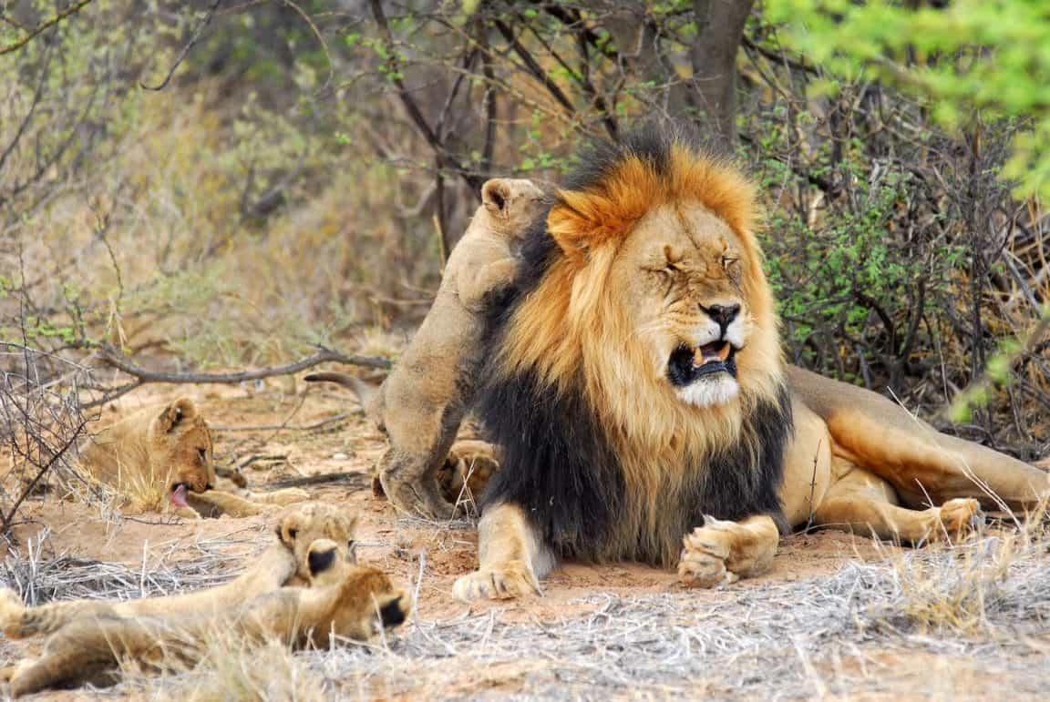 Kalahari black maned lion