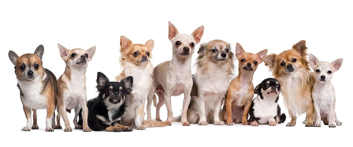 Chihuahua Titelbild