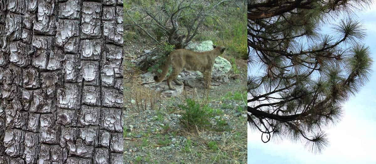 Alligator junipers (left) and Apache pine (right) are two types of conifers found in the sky islands in Chiricahua National Monument. Mountain lions and other wild cats can be found in this environment. Photo: NPS.