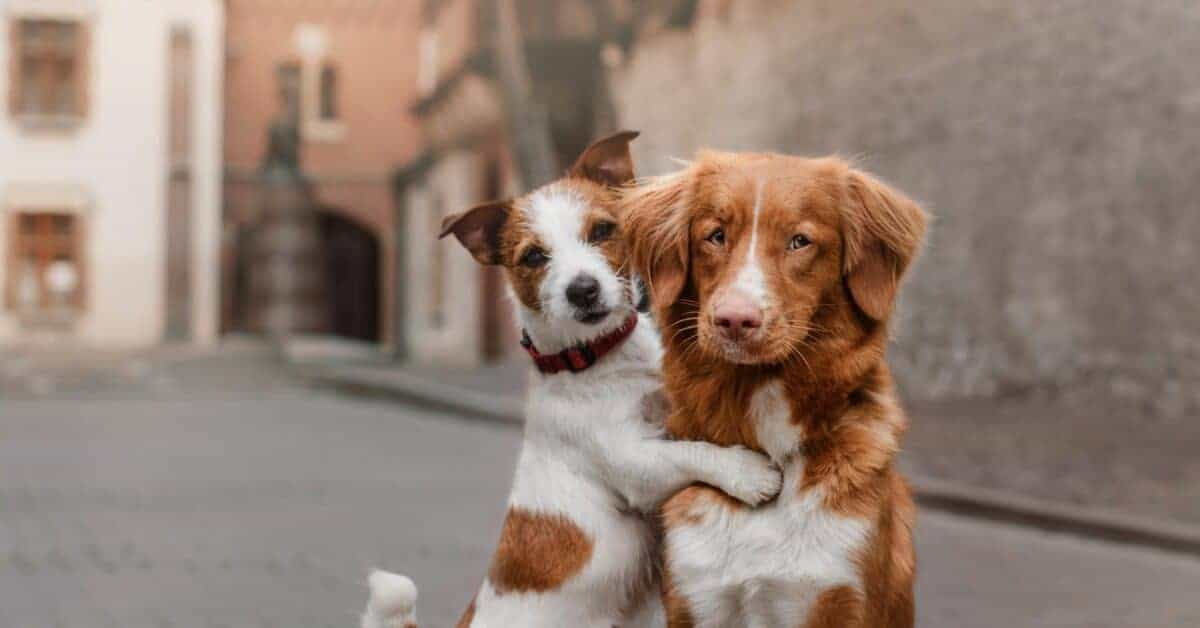 Alzheimer's in Dogs (known as Canine Cognitive Dysfunction Syndrome) is common in elderly pets.