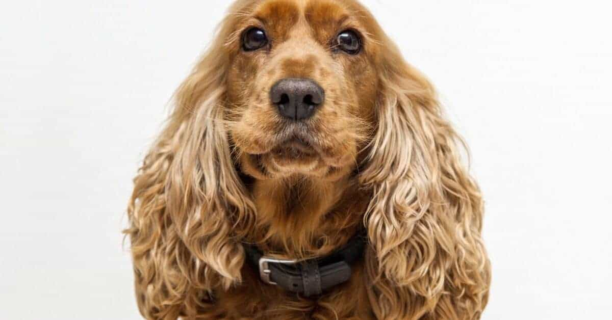 Cockalier puppies are a cross between the Cocker Spaniel and the King Charles Cavalier