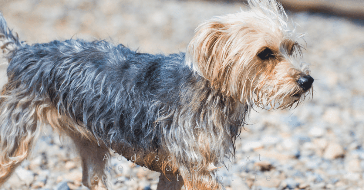 Morkies are a cross between a Maltese and Yorkshire terrier