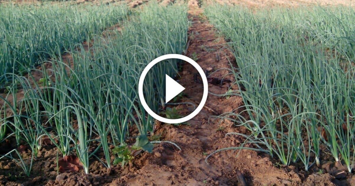 زراعة البصل واهم المعاملات والتسميد ومكافحة الافات فى عمر ثلاث شهور