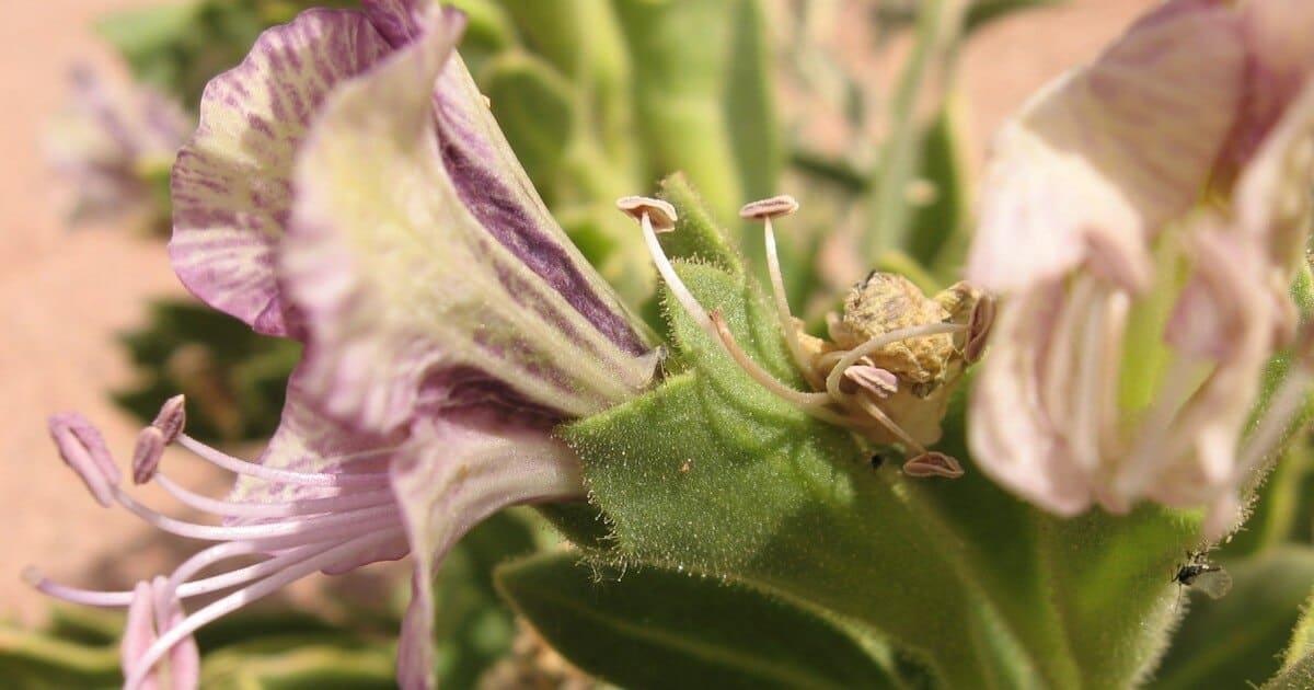 السكران المصري Hyoscyamus muticus L