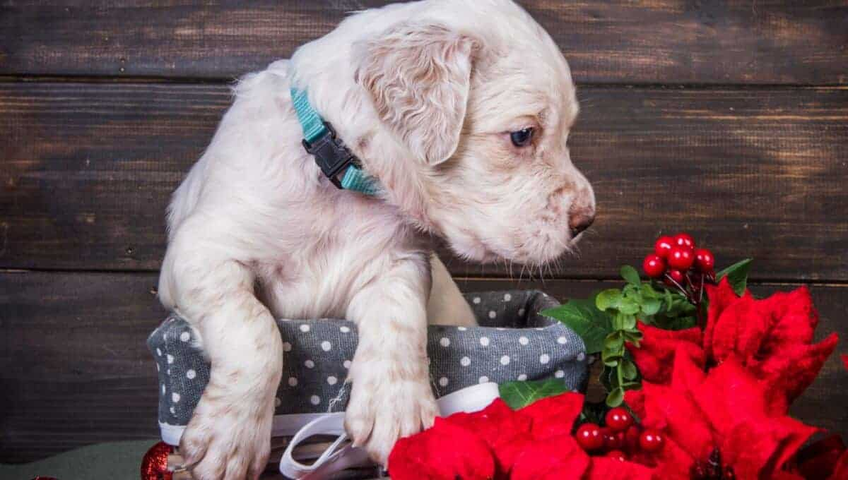 Poinsettias aren't poisonous for dogs, but they may upset the tummy.