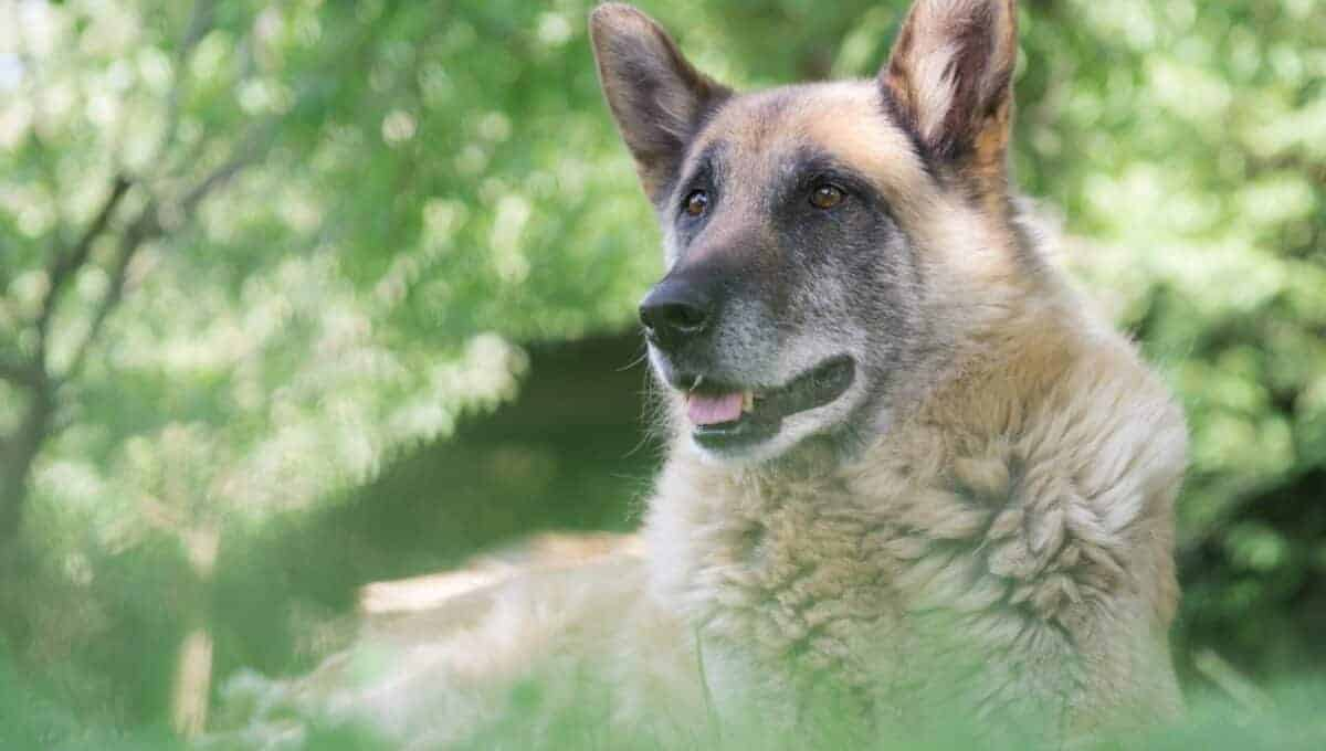 Canine hemangiosarcoma in dogs is often fatal.