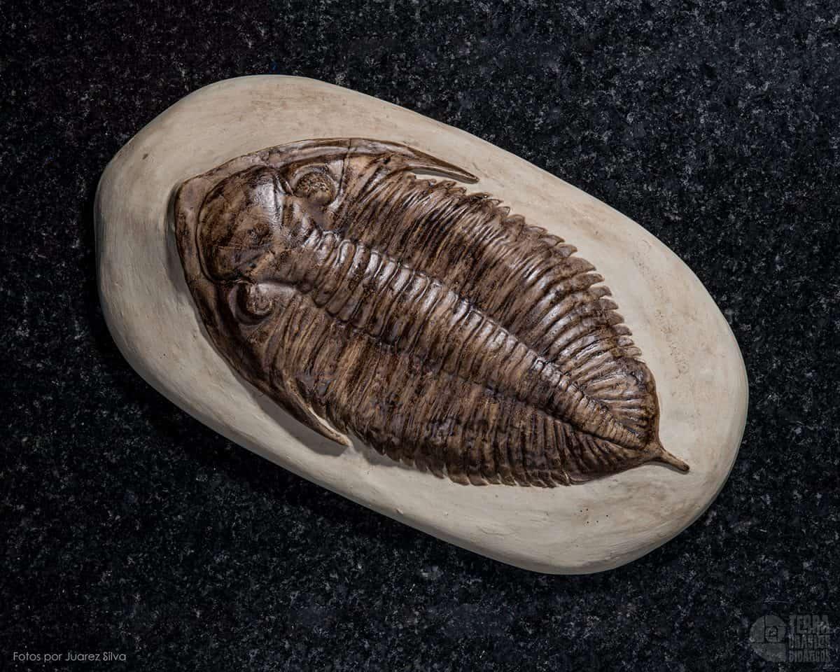 Trilobita: Dalminites limulurus