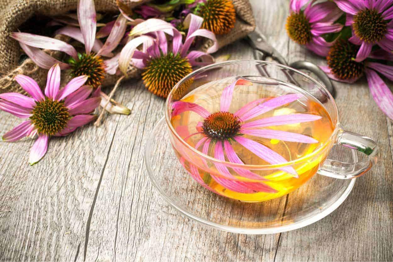 echinacea-tea-e1560606405613-3641381