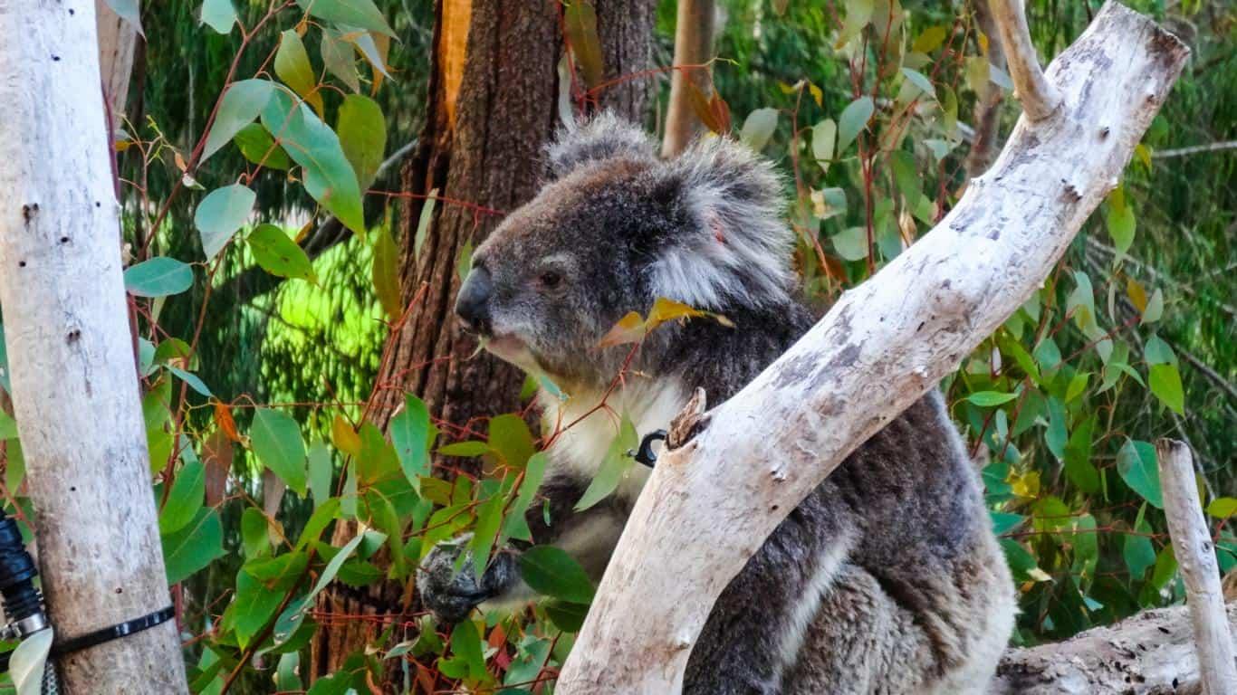Yanchep Nationalpark, Western Australien - Koala