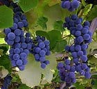 bigstockphoto_Blue_Grapes_Hanging_From_A_Vin_239235