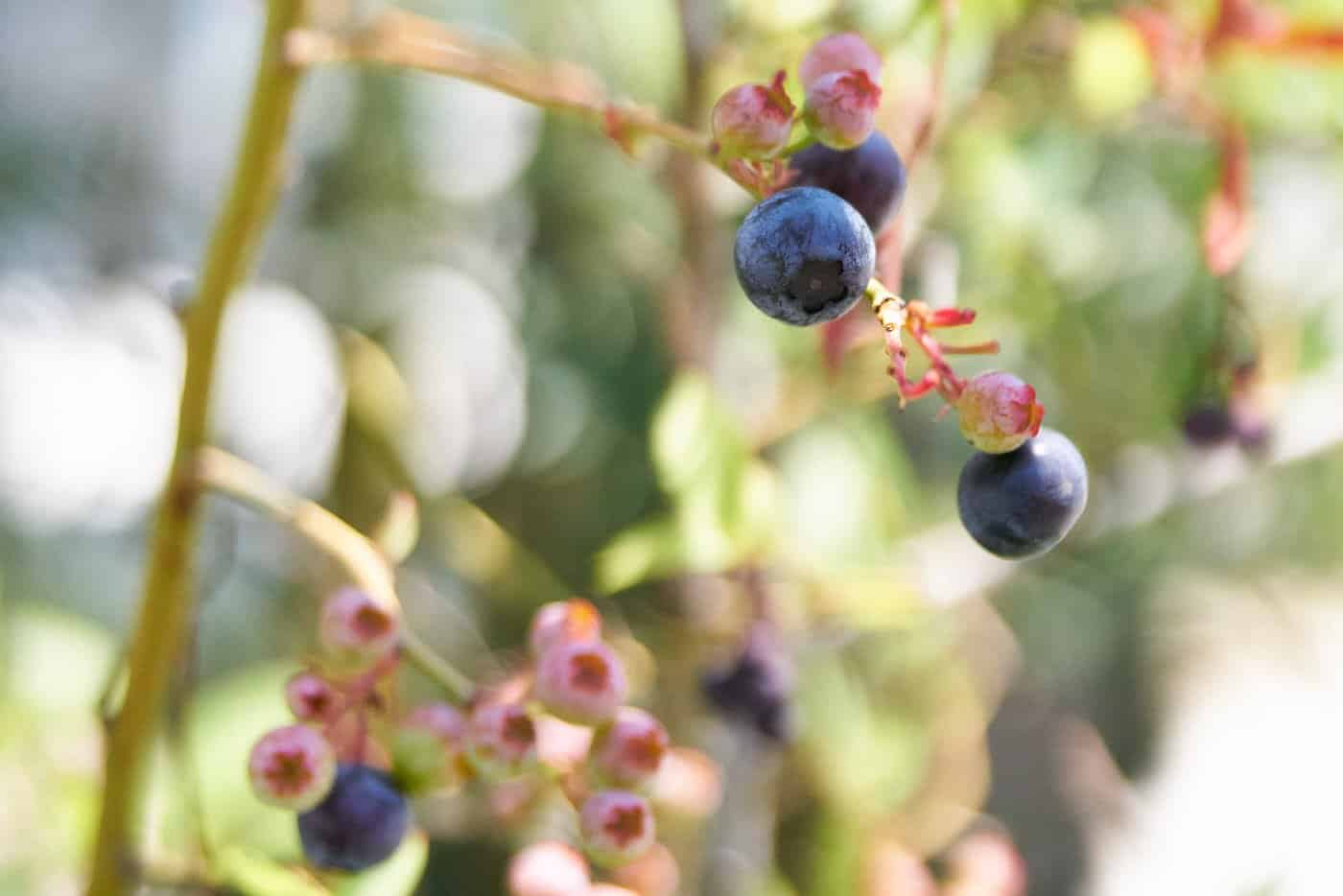 Fresh ripe blueberries ready to pick and go into cobbler.