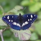 Southern White Admiral Photo by Dobromir Domuschiev