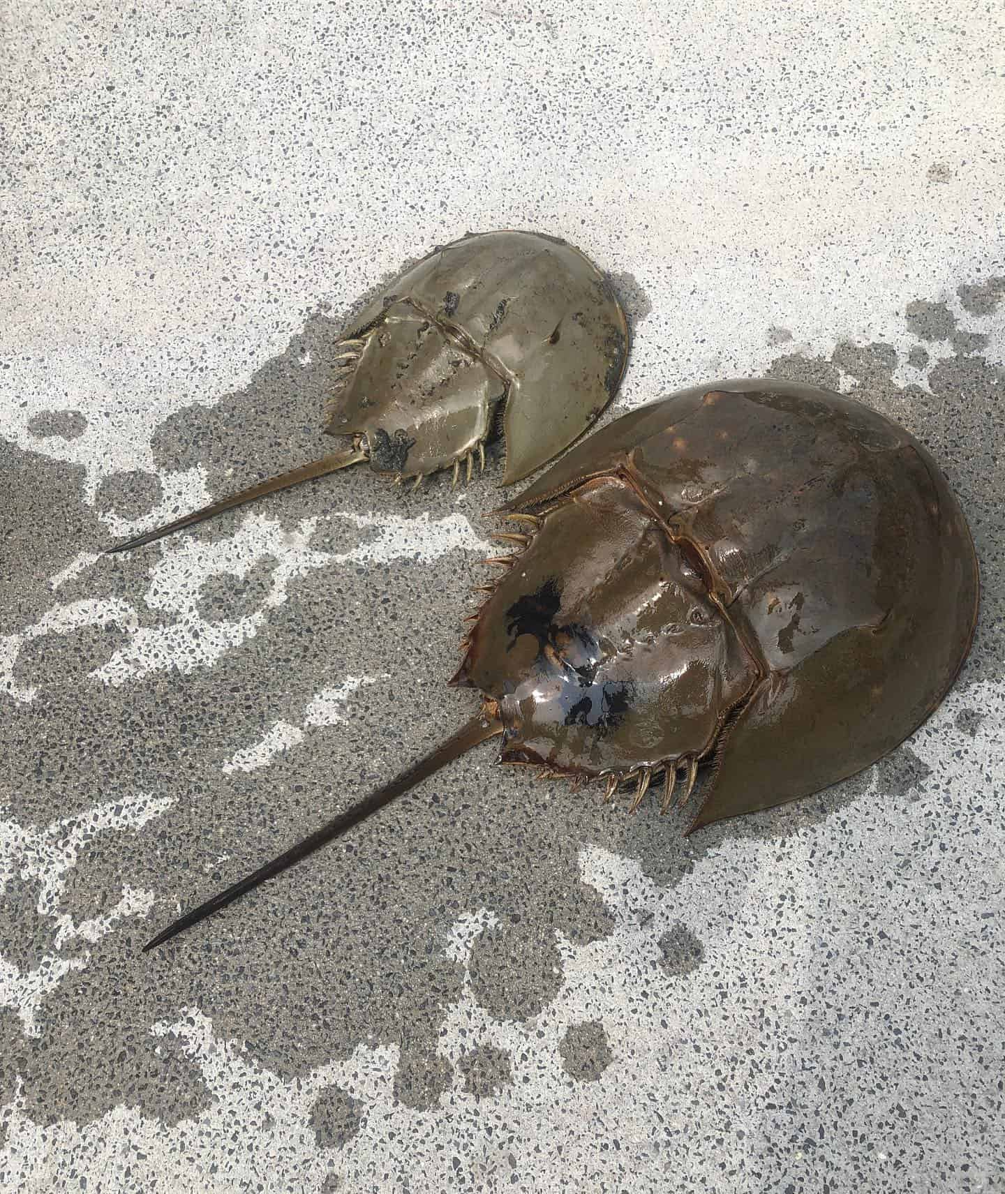 Close look at two horseshoe crabs. Nature boat tours Charleston