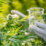 Researchers Found a New Way to Predict THC vs. CBD in Cannabis Plants