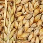 Barley-जौ-Jau-Spices-Names-in-English-Hindi-Meri-Rasoi